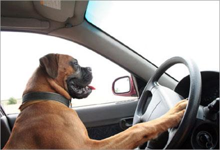 Det finns många saker du inte bör göra i din bil, tex låta din hund köra.