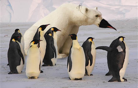 Under decennier har man felaktigt trott att Isbjörnen var en egen art.