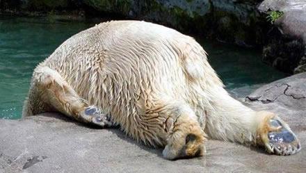 Egoistiska Isbjörnar förstör vår livsstil.