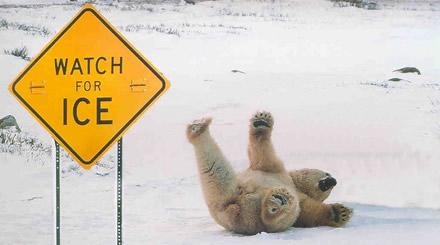 Isbjörnarnas fallande intelligens förklarar deras nuvarande situation